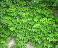 Wholesale Hot selling Ivy seeds Parthenocissus seeds green bonsai DIY home garden