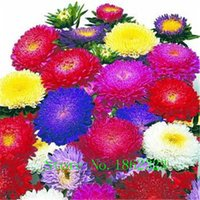 asters plant - Hot Brand New Aster Seeds Charming Chinese Flower Seeds Bonsai Plants for Garden Price