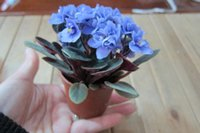 african violet seeds - Bonsai flower seeds PC African mini sky blue violet seeds Beautiful plant
