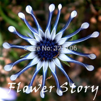 Wholesale Blue Daisy hardy plants flower seeds exotic ornamental flowers