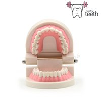 Wholesale On sale New PC Standard Teeth Model Dental Dentist Flesh Pink Gums Stan dard Teeth for education teaching Tooth Teach Model