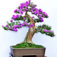 Wholesale 50 Purple Lilac Seeds Syringa Vulgaris DIY Home Garden Bonsai Very beautifula nd fragrant SS085