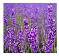 Wholesale 500Pcs True Lavnder Vera Lavender Augustifolia Vera Herb Purle Flower Seeds AE01538