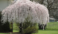 Flower Seeds beautiful flowering trees - 20 Snow fountain weeping cherry tree DIY Home Garden Dwarf TreeRare Beautiful Drought tolerant Hardy SS131
