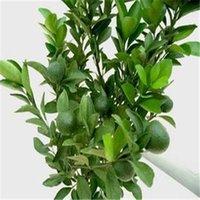 best fruit trees - Hot kinds Orange SeedsOrganic Heirloom Seeds Fruit Seeds NON GMO Best Quality Tree Seeds
