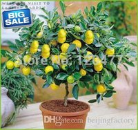Wholesale Lemon seeds Indoor outdoor BONSAI seeds Edible Yellow Lemon Tree Seeds organic food tea gift seeds
