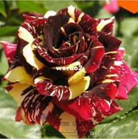 Wholesale Professional packing seeds pack MEMPHIS MUSIC MINIFLORA ROSE ROSE BUSH DEEP RED WHITE