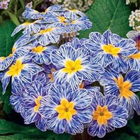 Flower Seeds attractive flowers - Zebra Blue Evening Primrose seeds rare variety attractive and easy growing seeds bag SS064