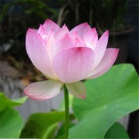 Wholesale 10pcs Lotus Seeds Kinds Bowl Lotus Seed Mixed Colors Flower Seeds Water Lily Seeds Water Garden Plants