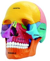 Wholesale Anatomica Human Skeleton D Vision Didactic Exploded Skull Model D Master