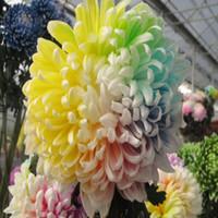 Семена цветущие Цены-Бесплатная доставка сада Бесплатная доставка 20 Радуга хризантема семена цветов редкий цвет нового прибытия DIY Home Garden