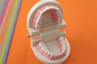 Wholesale New High Quality Dental Teach Study Adult Standard Teeth Model Typodont Demonstration Tooth Model B9