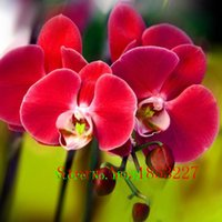 Wholesale Unique Red Phalaenopsis Bonsai Butterfly Orchid Flower Seeds Elegant Flower Plant Ornamental flowers Garden