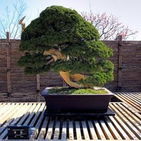 air pots - 20 juniper bonsai tree potted flowers office bonsai purify the air absorb harmful gases SS044