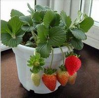 Cheap Sale Strawberry pot culture Seeds Seeds Flowers Seeds Per Package* Garden Plants Fruit seeds