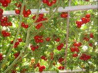 Cheap Italian Tree Tomato Seeds Best italian tree