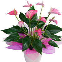 Wholesale 100 bag Rare Flower Seeds Anthurium Andraeanu Seeds Balcony Potted Plant Anthurium Flower Seeds for DIY Home Garden