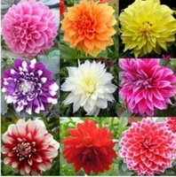 Wholesale HOT SALE Mixed Colors Dahlias Seeds For DIY Home Garden For Gift
