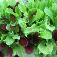 Wholesale 10 Seeds Pack Organic Gourmet Lettuce Mix Seeds Mycorrhizae Inoculated Bulk Available