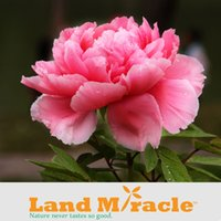 Wholesale 1 professional pack seeds pack RARE PURE RED Peony flower Seeds Chinse Flower Seed Bosai Home Garden Land Miracle BLP112