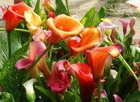 Wholesale Cheap Wholesale Bonsai - Calla lily seeds, free shipping cheap calla lily seeds, calla lily potted seed, Bonsai balcony flower - 100 pcs bag