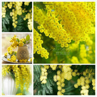 acacia tree - 20 Impressive GOLDEN MIMOSA Acacia Baileyana Yellow Wattle Tree Flower Seeds TT181