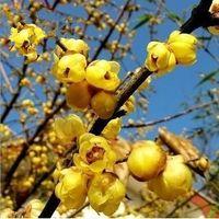 other alias - Home Gardening Perfume Fantasy Winter Sweet Chinese alias Perfumes Importados