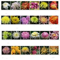 Wholesale Chrysanthemum Flower Seeds Garden seeds DIY Garden planting seeds beautiful flower seeds outdoor plants kinds