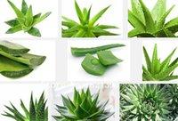 aloe flower - 100 seeds Rare Aloe polyphylla Spiral Aloe Seeds plant seeds