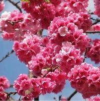 Decorative Stones   Flower Seeds For Home Bonsai Tree Seeds Japan Sakura Blooms Prunus Subhirtella Cherry Blossom Tree Sakura Seeds
