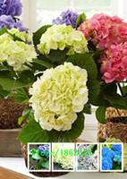 Wholesale 100 seeds bag Hydrangea flower seeds potted geraniums balcony hydrangea indoor plants seeds Yi kinds