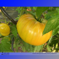 best tasting fruits - Aunt Gertie s Gold Organic Yellow Beefsteak Heirloom Tomato Seeds Professional Pack Seeds Pack Best tasting Tomatoes