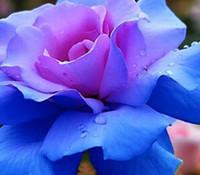 Купить Розовые садовые цветы-3000pcs комплект Сильный ароматный Очаровательная розовая синяя двойная цветная роза цветочная семена Home Garden Diy Разумная цена выбора и хорошее качество