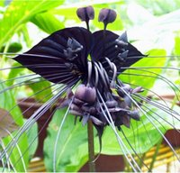 Wholesale Black Tiger Shall Orchid Flowers Seeds Flower Orchid Seeds For Garden Home bag