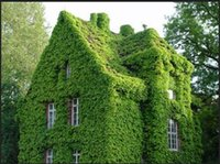 Wholesale New Green Boston IVY Seeds creeper seeds for the garden