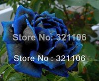 Wholesale Midnight Supreme Rose Bush Flower Seeds Stratisfied Seeds