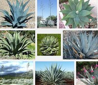 agave plant - 100 Seeds Red Agave seeds Red Malagasy plant Seeds Not Agave
