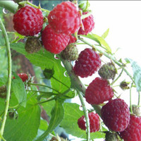 automatic plant waterers - 50PCS Pure RED Rubus Raspberries Antioxidant Seeds Bush Fruits Vegetables Plant