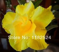 Wholesale Fresh Rare Yellow Love Adenium Obesum Seeds Bonsai Desert Rose Flower Plant Seeds