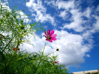 Wholesale 2014 New Limited Very Easy Calliopsis Cosmos Seed Original Pack Bipinnatus Bright Fragrant for Oriental Colorful Garden