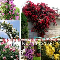 Wholesale Cheap Climbing penoy plants China rose seed climbing rose seeds blooming flowers colors