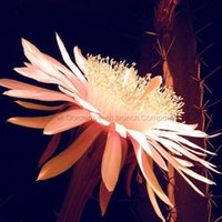 barbed wire - 10 Seeds Acanthocereus Tetragonus Barbed Wire Cactus with White Flowers Sword Cactus Stems and Fruits Edible Nice Succulents
