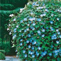 Wholesale 40 Seeds Japan Takii Petunia Hybrida Single Grandiflora Type Sky Blue Flowers LT043