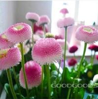 Cheap daisy seeds Best plants seeds