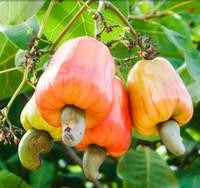 anacardium occidentale - Garden Plant Seeds Cashew Tree Seeds Anacardium Occidentale Rare Tropical Plant Tree fruit Seeds