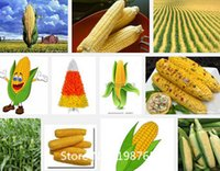 Organic bagged corn - Promotion Rainbow corn seeds vegetables seeds grains and miscellaneous good quality maize seed particles bag Novel Seed