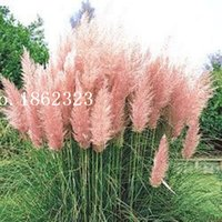 Wholesale Hot piece Colors Selloana Seeds New Garden Flowers Four Season Sowing World Rare Flower Seeds For Garden