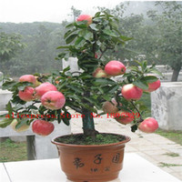 apple tree fruit - Apple Tree Seeds seeds bag bonsai for home garden
