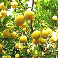 Wholesale 10PCS Rare Natural Sweet Yellow Lemon Tree Indoor Outdoor Seeds Fruits Vegetables Plant Seed Garden