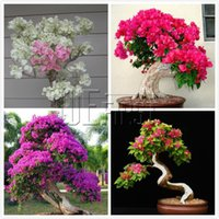 Wholesale Mix Color Bougainvillea Seeds Potted Flower Plant Need Almost No Care